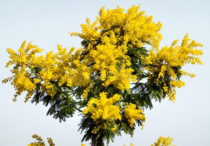 Mimosabos op witte Achtergrond Acaciadealbata De internationale Symbolieken van de Vrouwendag royalty-vrije stock foto