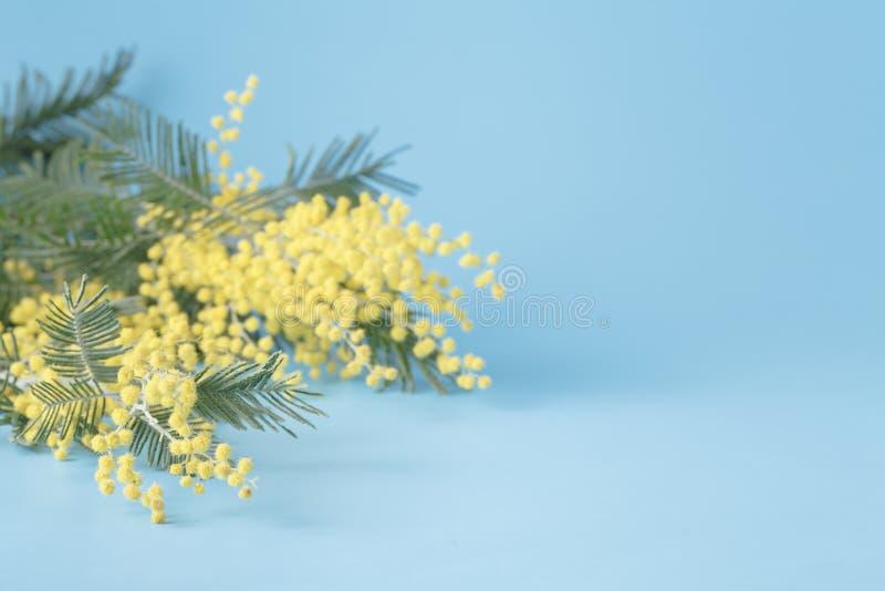 Mimosan för vårgulingblomman på blått plattar till bakgrund royaltyfri foto