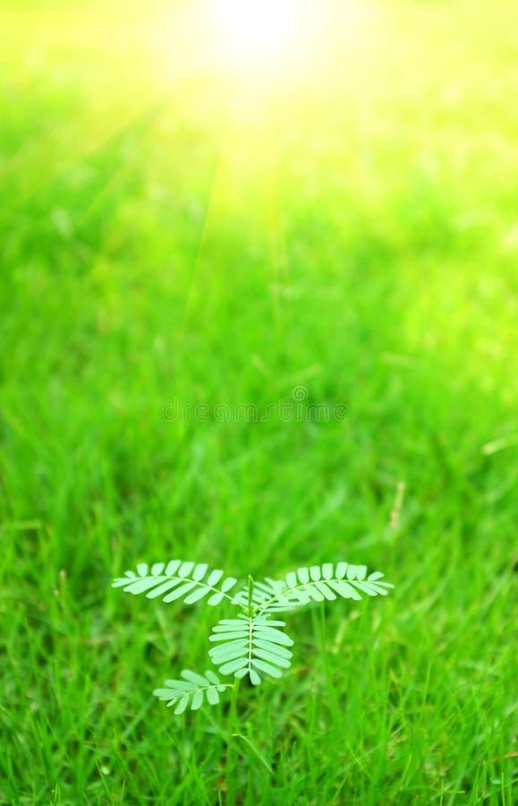 Mimosapudica royaltyfria foton