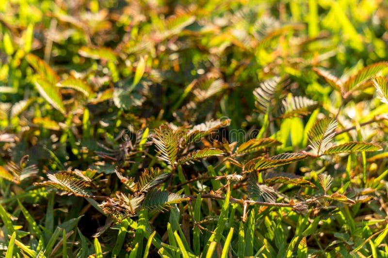 Mimosapudicatillväxt på jordningen i morgon känslig växt, royaltyfri fotografi