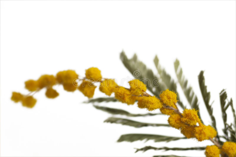 Mimosas sur le blanc photo stock