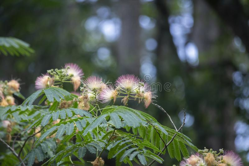 Mimosaträd i blom arkivfoton