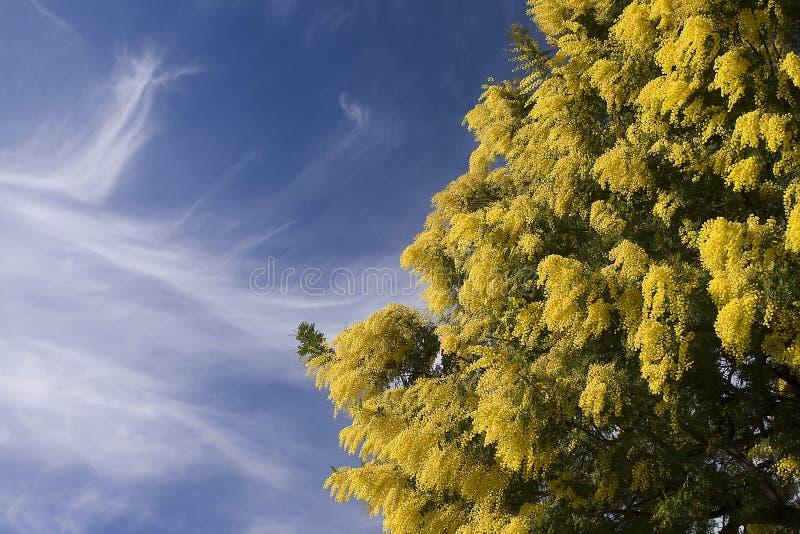 Mimose lizenzfreies stockfoto