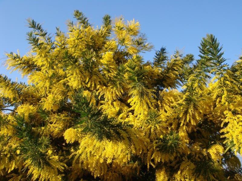 Mimose gialle fotografia stock