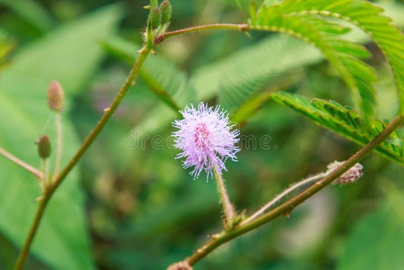 Mimose Pudica stockfotos
