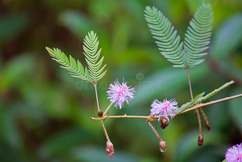 Mimose pudica stockbilder