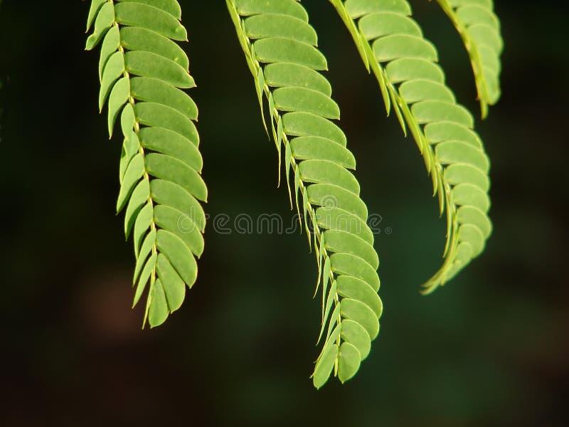 Mimoseblatt stockfoto