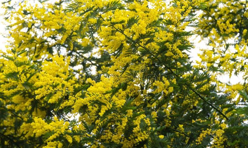 Mimosenbaum blüht heller gelber Feiertag lizenzfreie stockfotos