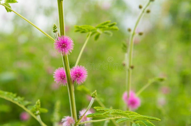 Mimosenblume stockfotos