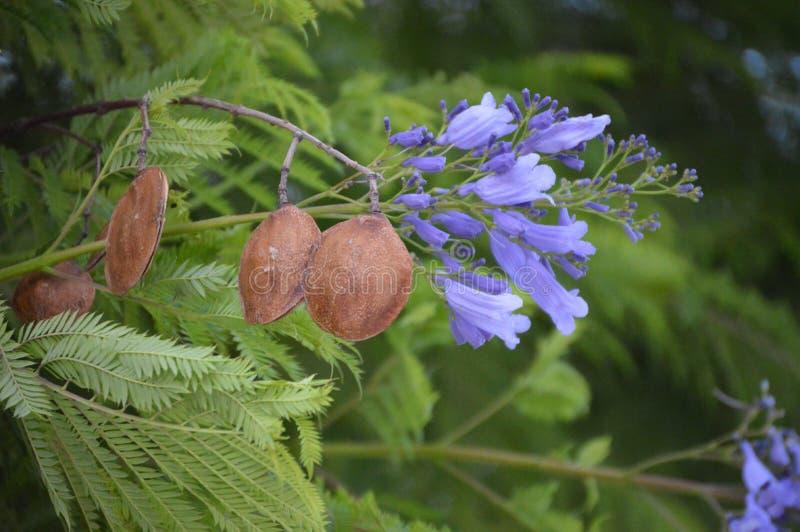 Mimosifolia Jacaranda - φρούτα και λουλούδια στοκ φωτογραφίες