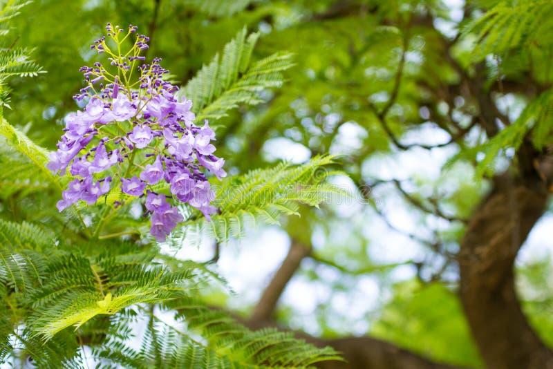 Mimosifolia Jacaranda красивый субтропический уроженец дерева к стоковые изображения