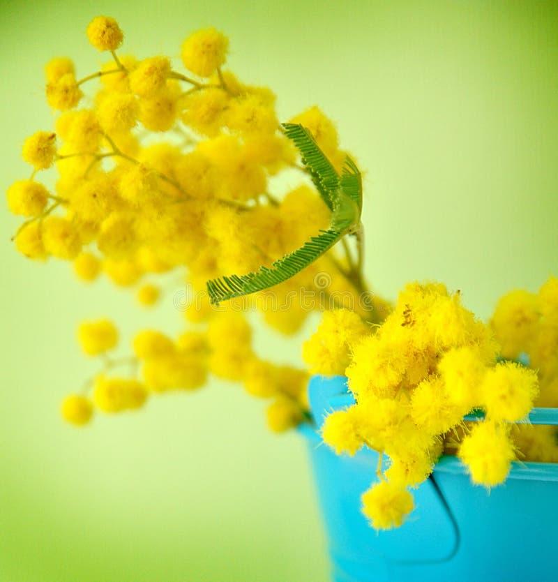 Mimoza στοκ φωτογραφία
