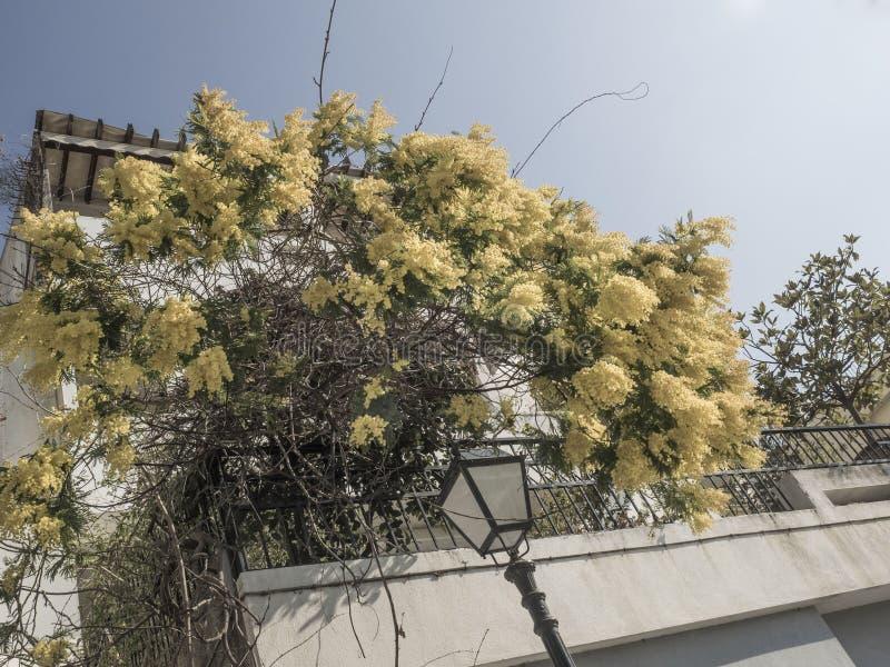 Mimoza kwitnie na drzewie przy ulicą w wiośnie zdjęcia royalty free