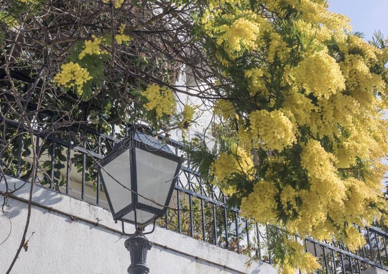 Mimoza kwitnie na drzewie przy ulicą w wiośnie zdjęcie royalty free