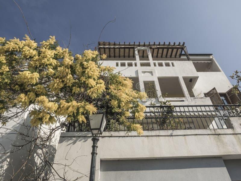 Mimoza kwitnie na drzewie przy ulicą w wiośnie obraz stock