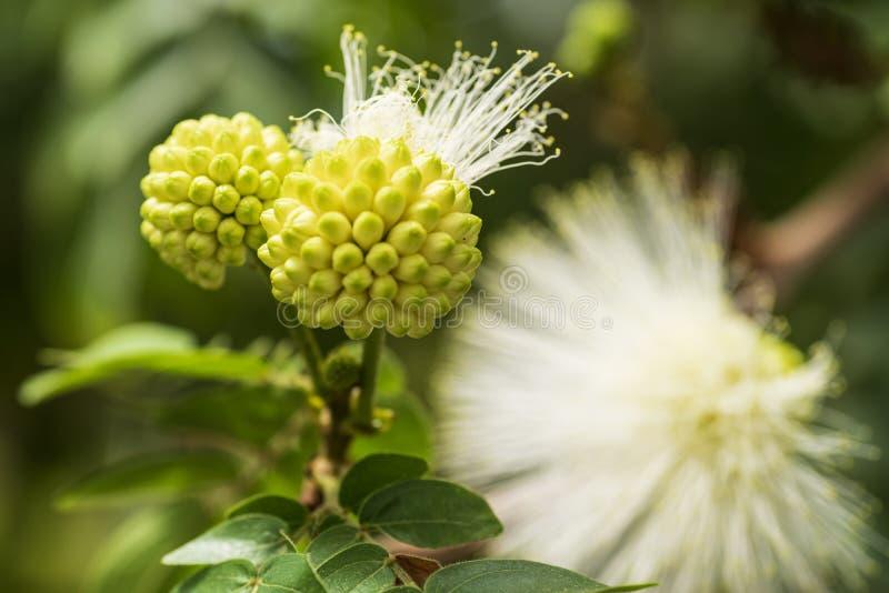 Mimozy pudica kwiatostan, round w pełni kwitnie biali kwiaty zdjęcie royalty free