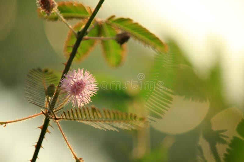 Mimozy pudica lękliwa lub zmniejszający się wyczulona roślina obrazy royalty free
