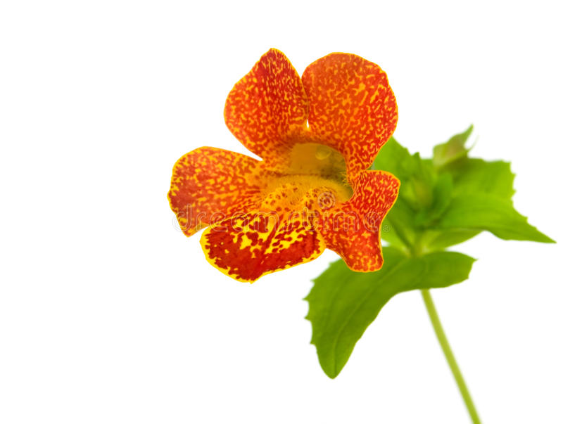 Mimulus stock photo