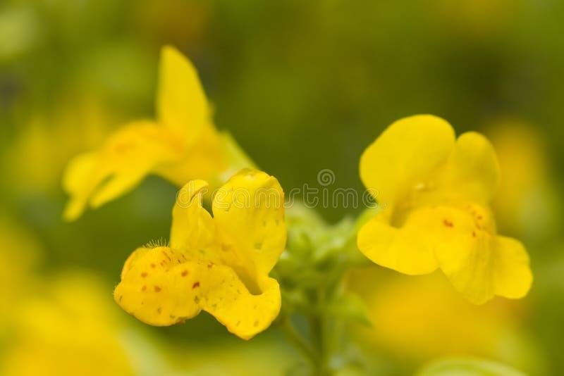 mimulus guttatus стоковая фотография