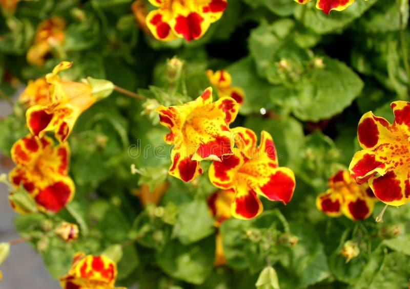 Mimulustigrinus, Tiger Monkey Flower stock afbeeldingen
