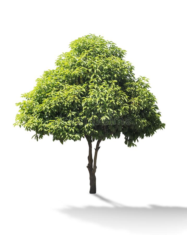 Mimusops-elengi Baum lokalisiert auf weißem Hintergrund, asiatisches bulletw lizenzfreie stockfotografie