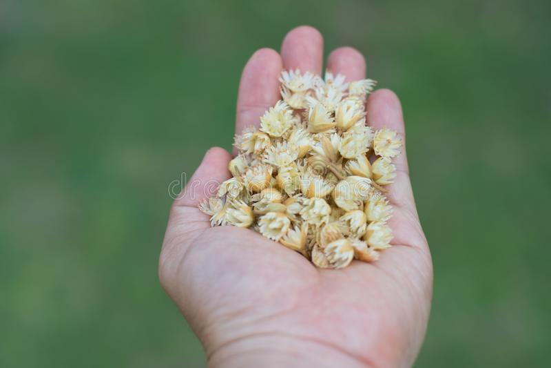 Mimusops-elengi in meiner Hand stockbilder