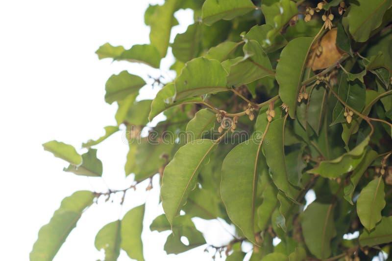 Mimusops Elengi ou bois de balle, fleur de promontoire, nèfle, Mimusops, cerise espagnole, arbre de Tanjong images libres de droits