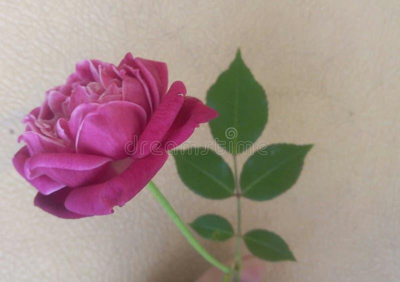 Min åriga rosa buske 40 royaltyfria bilder