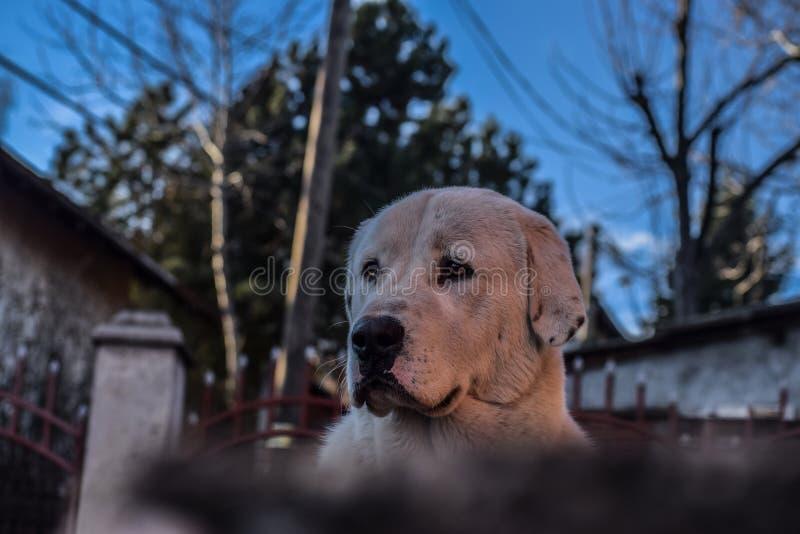 Min centrala asiatiska herdehund royaltyfria foton