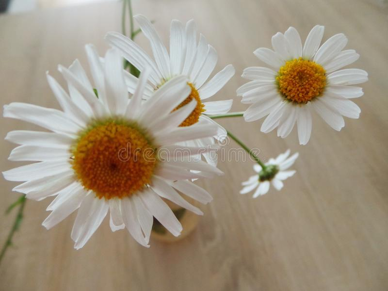 Min gunstling blommar tusenskönatusenskönor i vas fotografering för bildbyråer