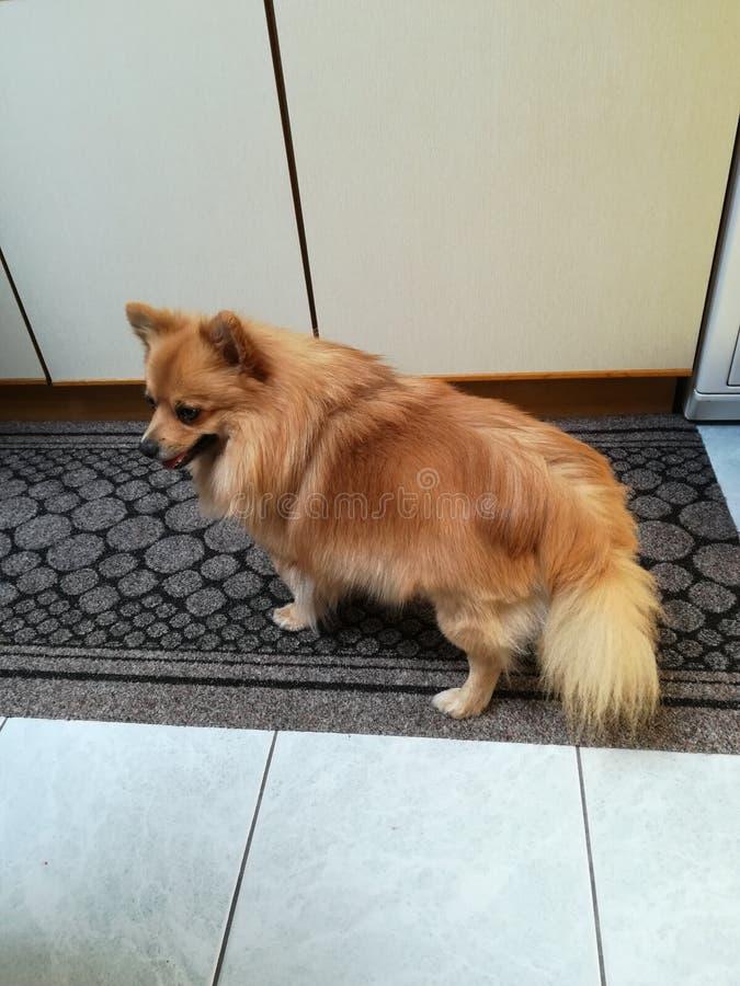 Min hund i hus royaltyfri fotografi