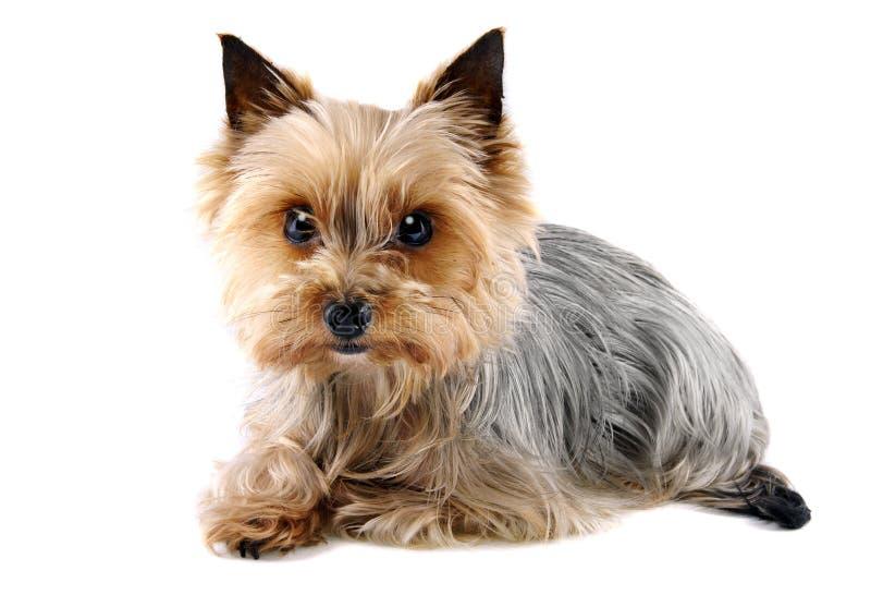 Min lite yorkshire terrier royaltyfri foto