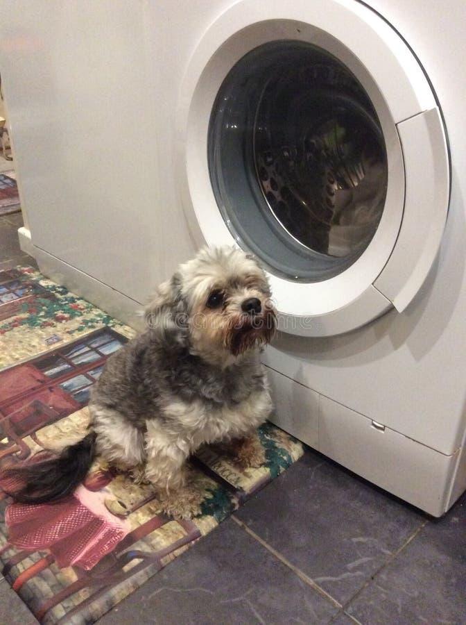 Min mums räddningsaktionhund Darcy arkivfoton