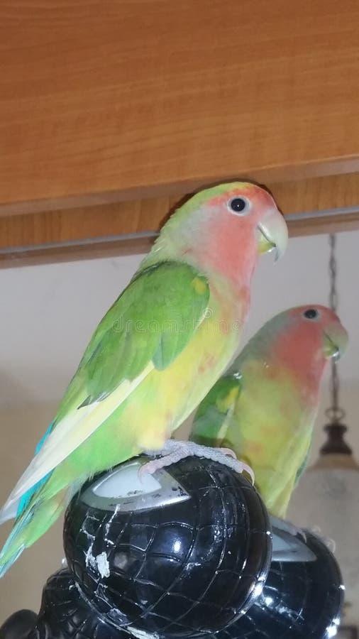 Min papegoja royaltyfria foton
