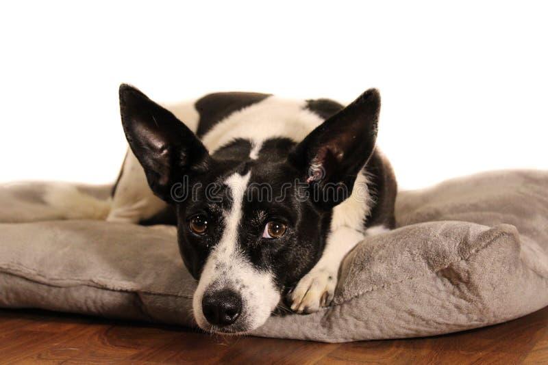 Min stående för hund` s royaltyfria foton