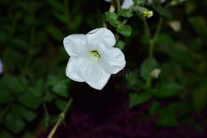 Min trädgårds- blomma i den bästa klicken av mig med kameran för nikon d5300 fotografering för bildbyråer