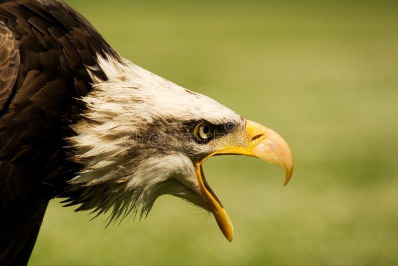 minaccia predatore dell'aquila fotografie stock libere da diritti