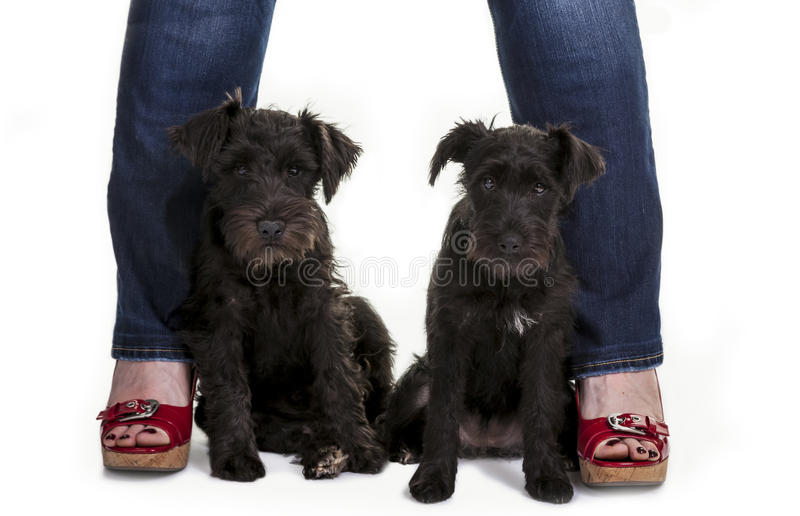 Minature Schnauzer Puppies. Two black miniature schnauzer puppies posed between two legs with brightly colored sandals royalty free stock photos