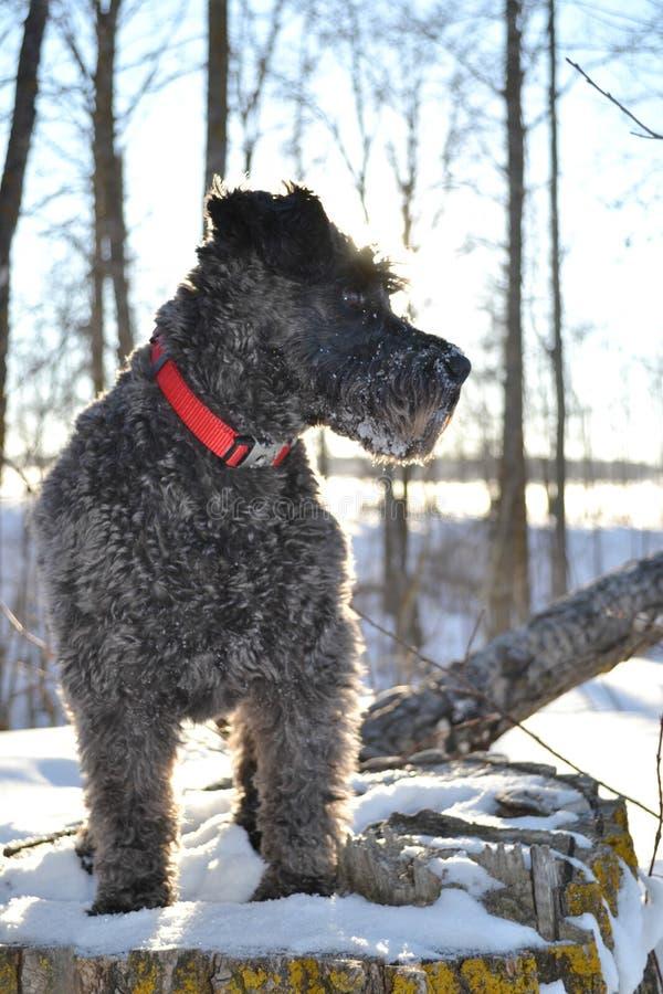Minature schnauzer puppy stock image
