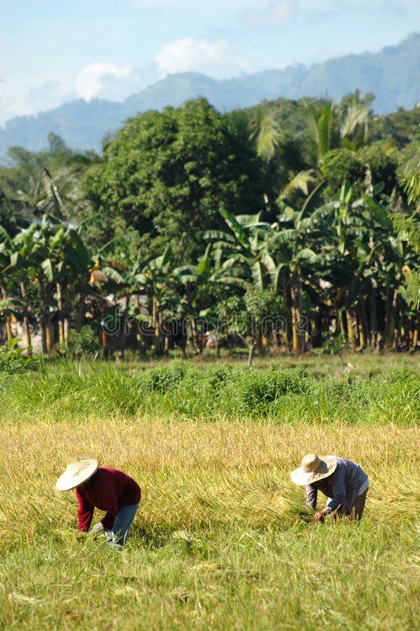 Mindanao, Ricefield Scenery, Harvest time. Mindanao, South Cotabato, Ricefield Scenery, Harvest time royalty free stock image