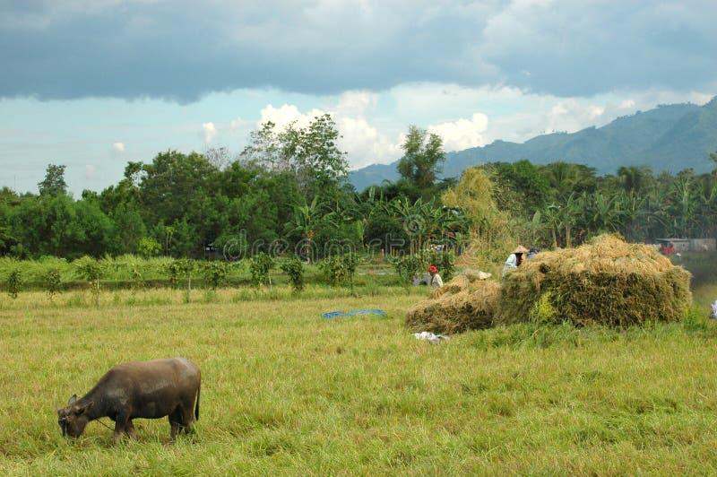 Mindanao, Ricefield Scenery, harvest time. Mindanao, South Cotabato, Ricefield Scenery, Harvest time, fieldworkers royalty free stock photo