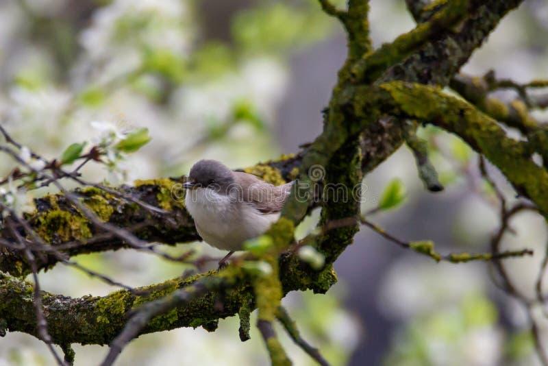 Minder witte, Sylvia curruca-vogel stock afbeelding