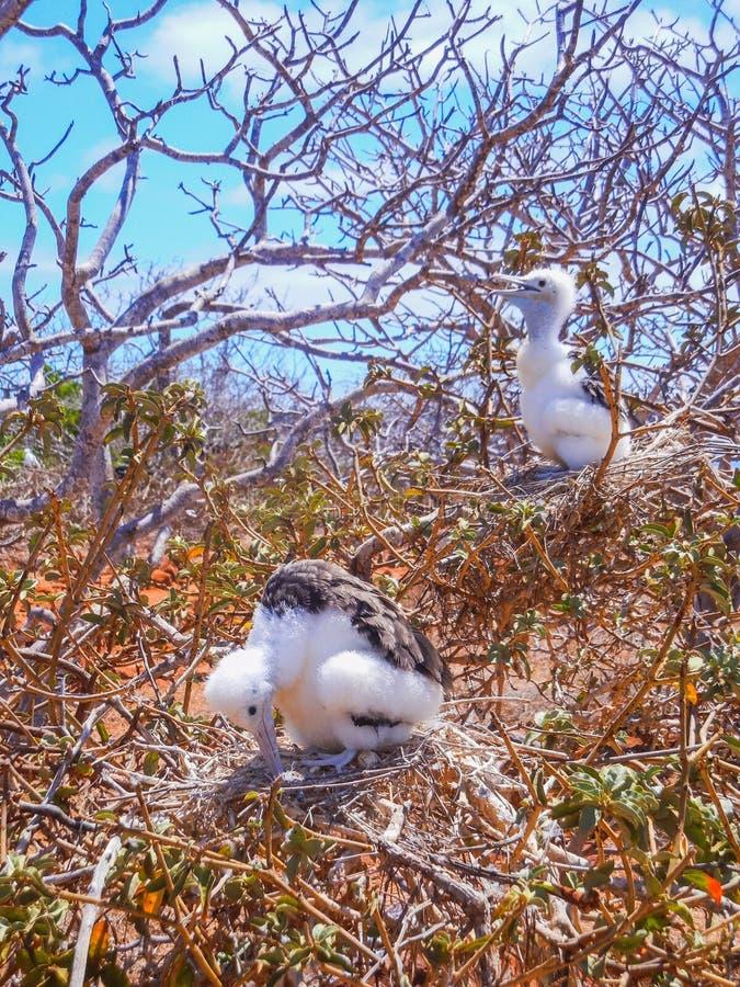 Minderjarige van twee de jonge frigatebirdsfregata op galapago van het genovesaeiland royalty-vrije stock fotografie