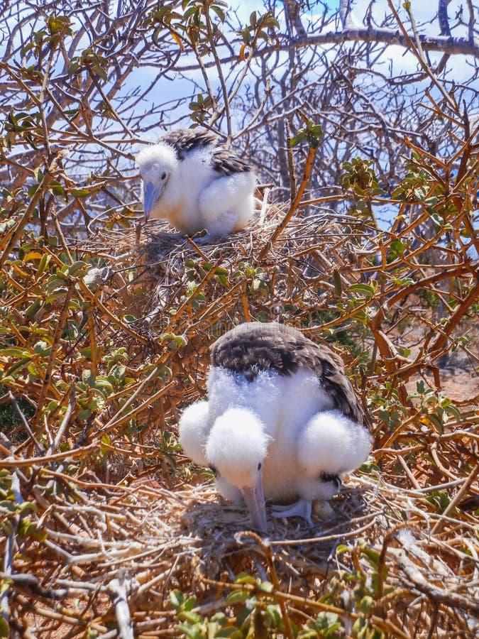 Minderjarige van twee de jonge frigatebirdsfregata op galapago van het genovesaeiland stock afbeelding