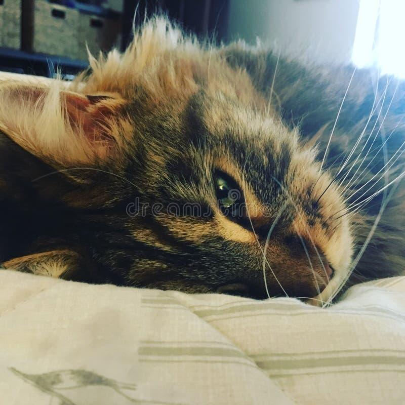 Mindfulness Kitten Cat sonolento de Moggy foto de stock