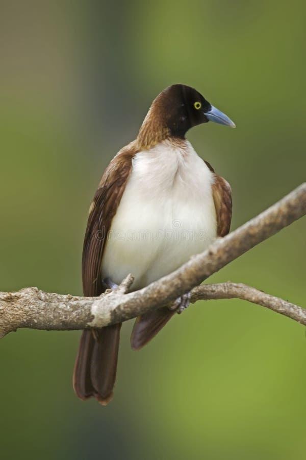 Mindre Fågel-av-Paradise, Paradisaea minderårig arkivbilder