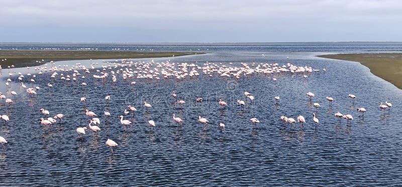 Mindre flamingor arkivfoto