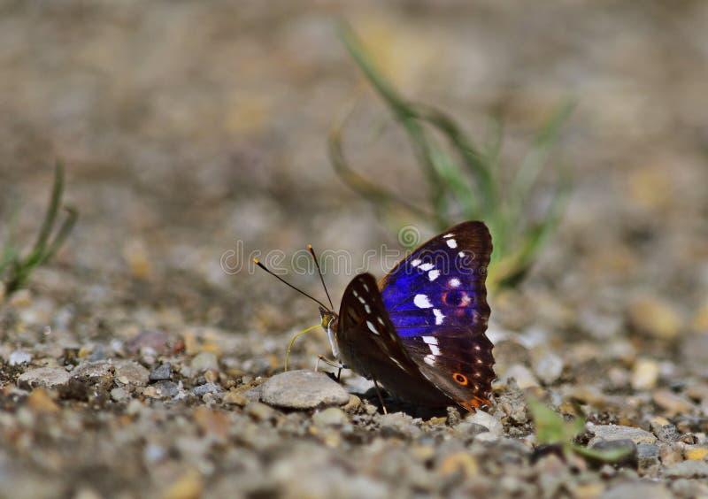 Mindre purpurfärgad kejsare - Apaturailia royaltyfri foto
