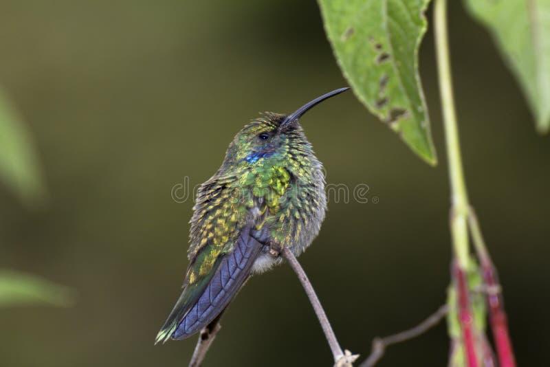 Mindre som är violetear, Colibri cyanotus, förr grönt violetear arkivfoto