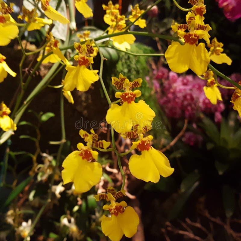 Mine żółte orchidee zdjęcia royalty free